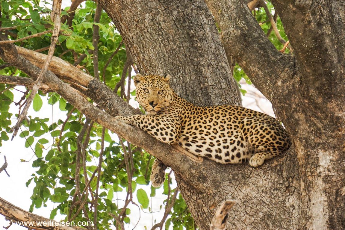 Moremi Game Reserve - Leopard