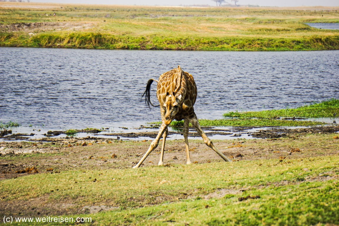 Chobe Riverfront, Chobe National Park, Giraffen