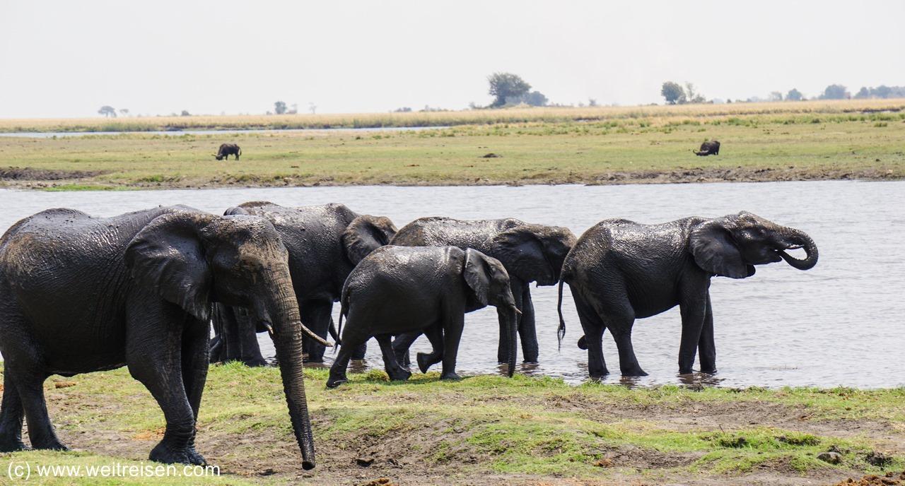 Chobe Riverfront, Elefanten, Chobe National Park