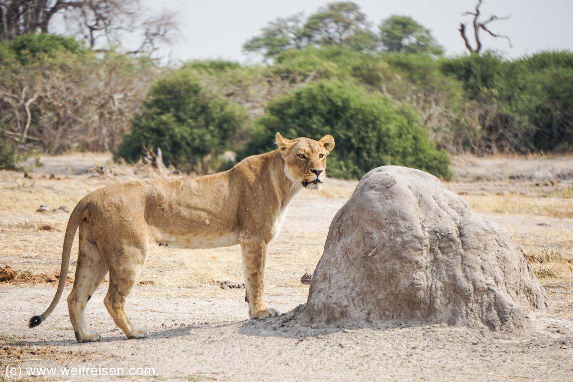 Savuti Camping Site, Chobe Nationalpark, Löwen