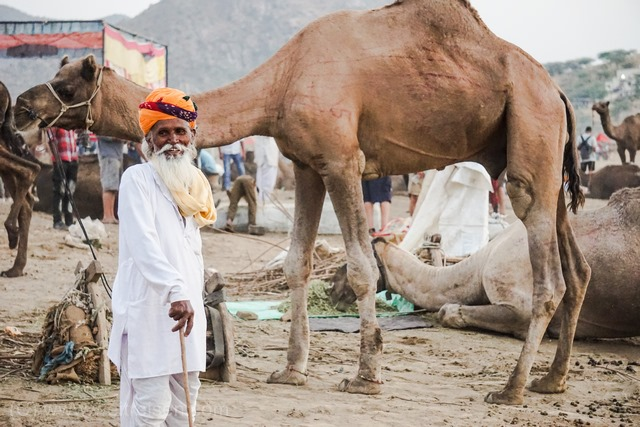 Pushkar Camel Fair, Kamelmarkt in Pushkar