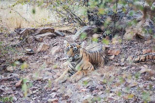 Ranthambhore Nationalpark, Auf Tiger Safari in Indien
