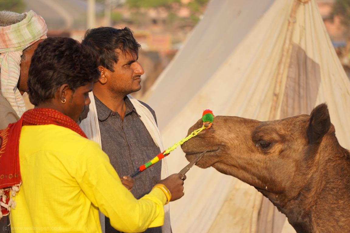 Pushkar Camel Fair, Kamelmarkt in Pushkar, Kamelfrisör