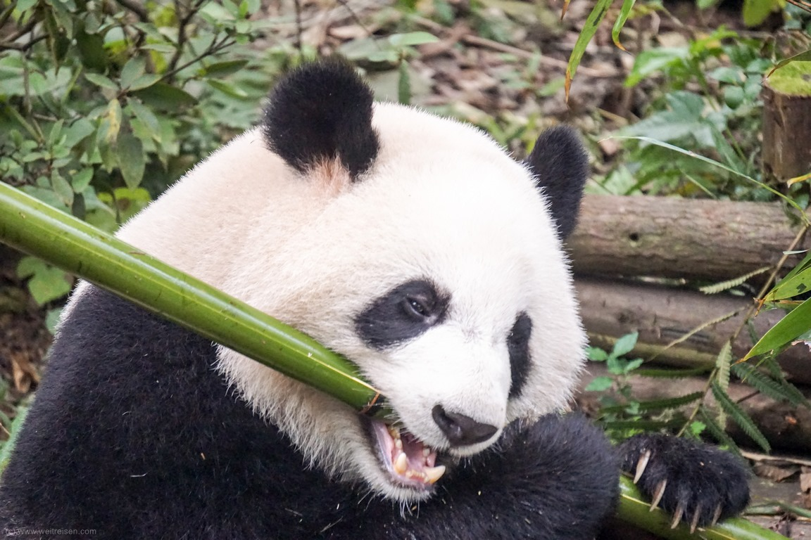 Pandabären, Chengdu