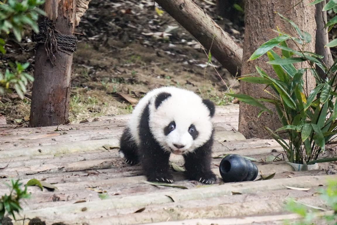 Chengdu, Pandabären
