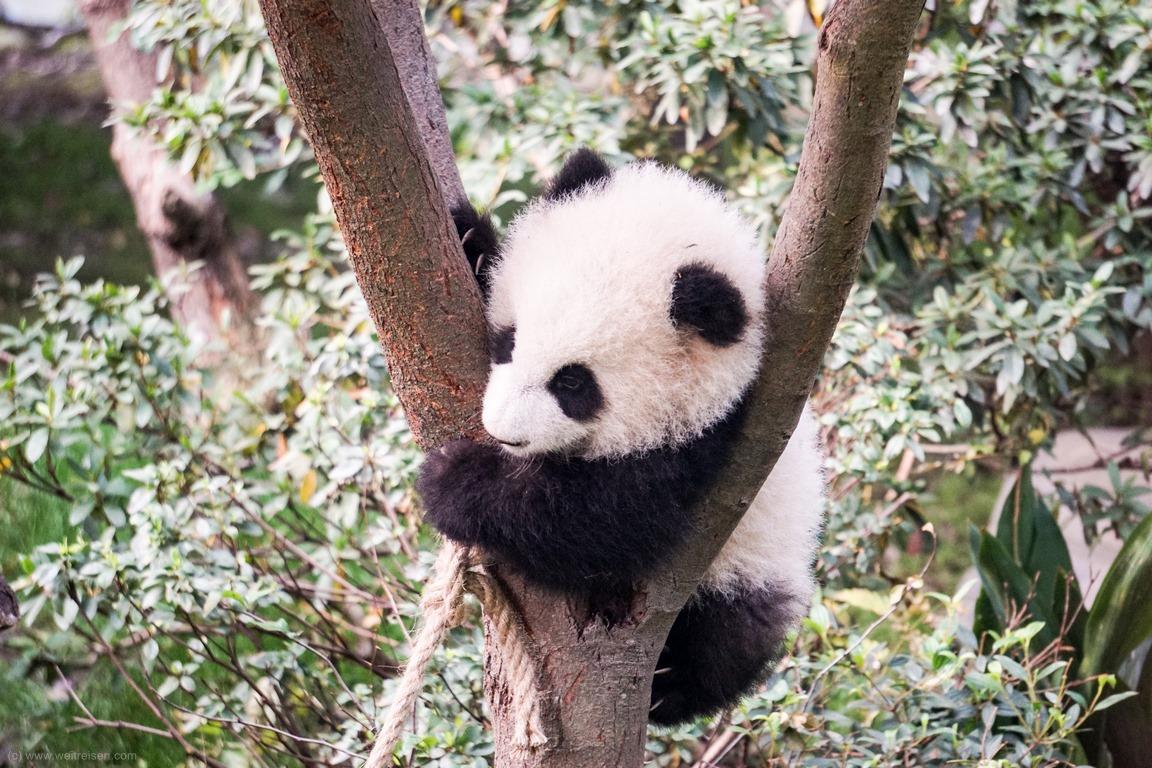Pandabären, Chengdu, Panda