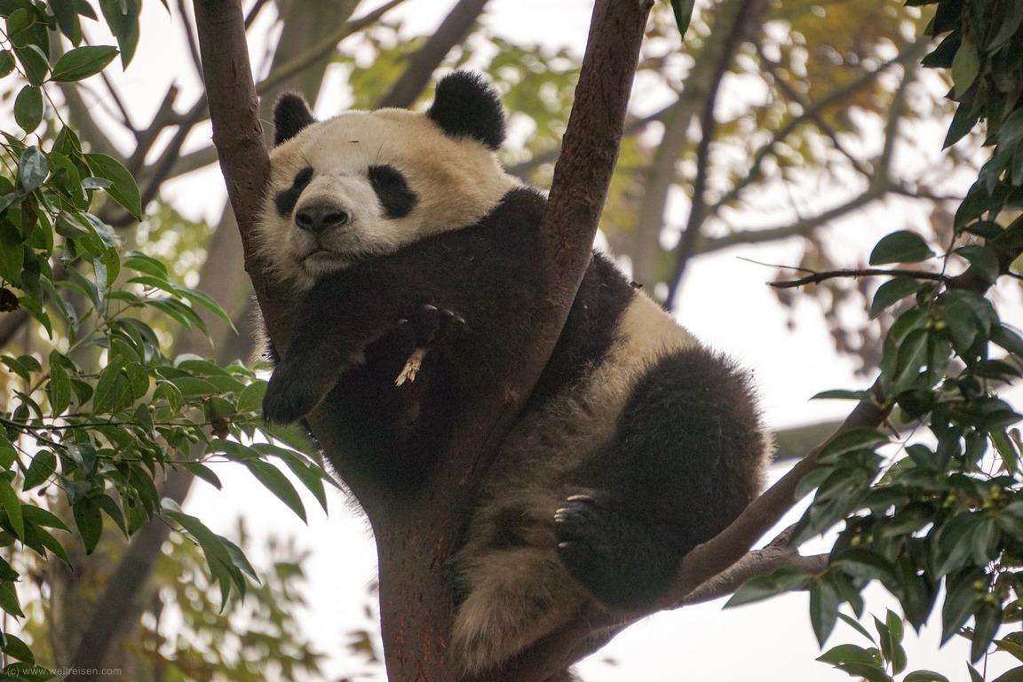 Pandabären Chengdu