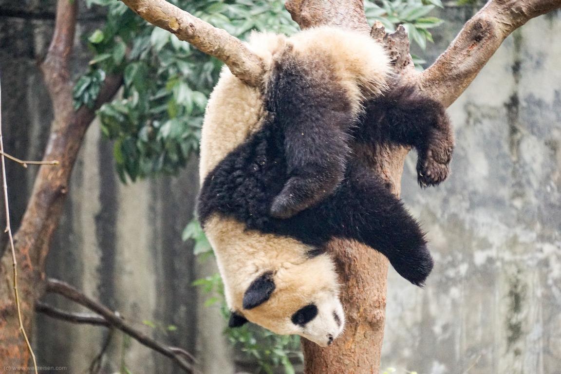 Panda, Chengdu