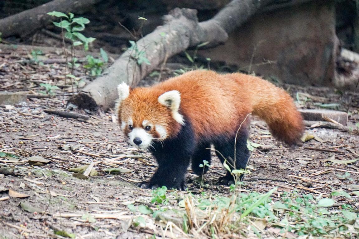 roter Panda, Pandabären, Kleiner Panda, Chengdu